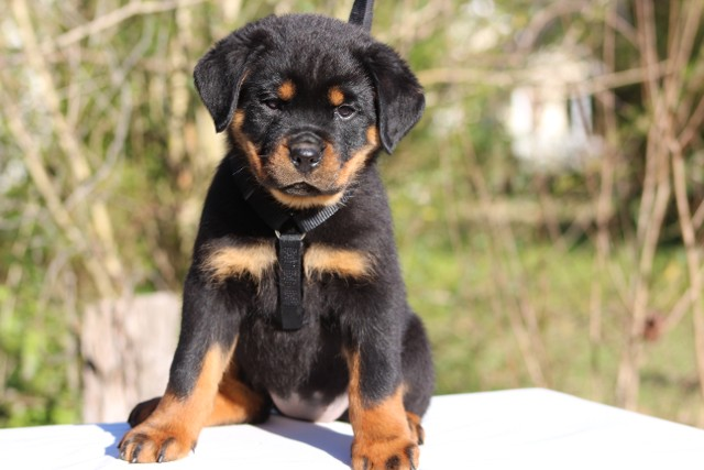 Rottweiler Puppies For Sale In North Carolina Rottweiler Breeders